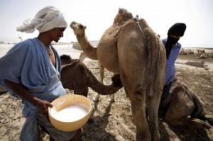 Plusieurs projets pour d�velopper l�exploitation du lait de chamelle � Tindouf
