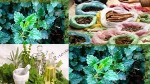 Vendeuses de plantes médicinales à Blida: Gagner sa vie en rendant service