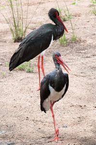 Annaba - Nature: La cigogne noire est-elle enfin revenue chez nous?