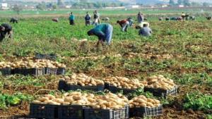 Réception des premières récoltes de pomme de terre de saison à Mostaganem