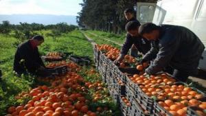 La production d'agrumes, à Blida, atteint son plus haut seuil depuis l'indépendance