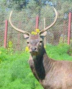 Souk Ahras - Plaidoyer pour la protection du cerf de Barbarie