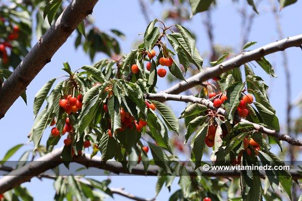 """Résultat de recherche d'images pour """"cerisiers a tlemcen"""""""