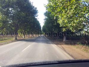 Platanes sur la route de Cherchell (Caesarée)