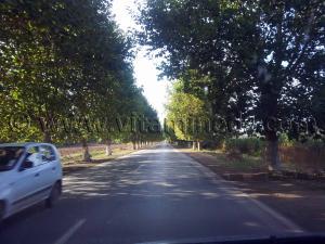 Route ombragée de platanes Cherchell (Caesarée)