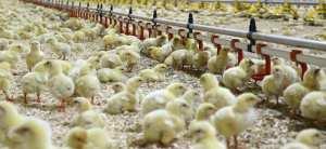 nouveau materiel avicole