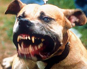 TIARET - Pitbull, ce chien de tous les dangers