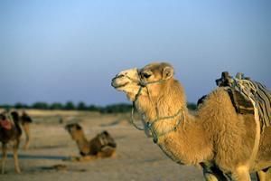 Tamanrasset - Plus de 40 associations agricoles ont pris part à la fête du camelin: L'Ahaggar relance le débat sur l'importance du dromadaire