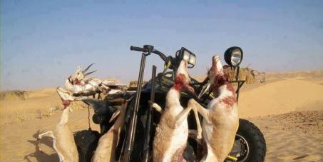 Oued Souf - La population au secours des gazelles massacr�es par les �mirs du Golfe