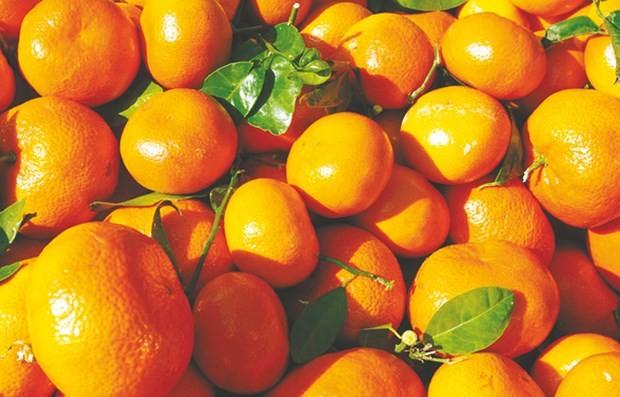 Blida et sa célèbre plaine de la Mitidja en passe d'être détrônées: La production d'agrumes atteint des records à Mostaganem
