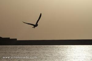 Mouette, Port de pêche à Tenes (W. Chlef)