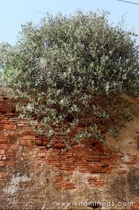 Petit olivier prenant racine dans la toiture de Bab El Bhar au vieux quartier de Tenes
