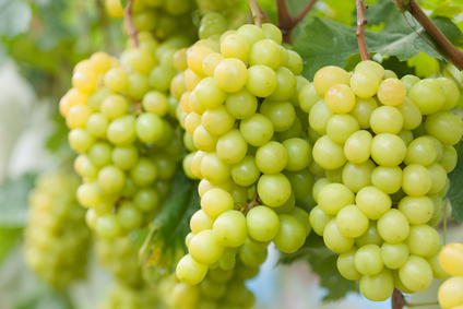 MOSTAGANEM - Le bon goût du raisin