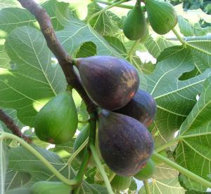 Les aliments prophétiques : Attin, La figue