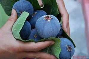 les figues de mes figuiers a Oouled Aissa Zatima Benimileuk Tipaza