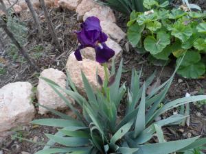 L'iris en fleur, le printemps avant l'hiver