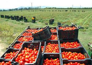 El Fedjoudj (Guelma) - Tomate industrielle: Spécialistes et agriculteurs débattent de la filière