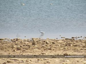 Tlemcen - Héron au barrage d'El Mefrouche