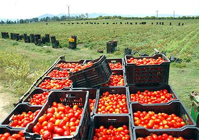 El Fedjoudj (Guelma) - Tomate industrielle: Sp�cialistes et agriculteurs d�battent de la fili�re