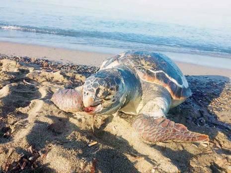 Annaba -  Des tortues g�antes �chouent sur les plages de Cheta�bi