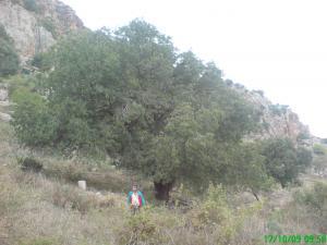 Batna - Pistachier de l�Atlas