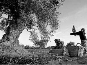 Production oléicole à Boumerdès: Rendement en hausse