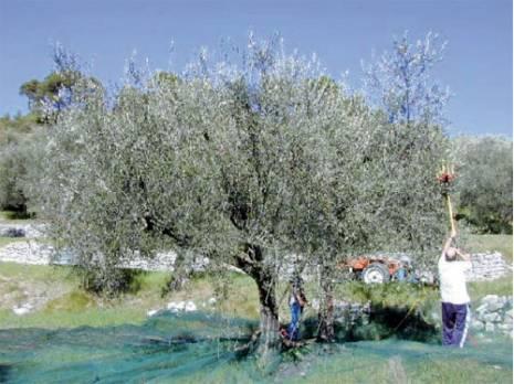 Production ol�icole � Jijel:  Un rendement moyen de 22 litres par quintal