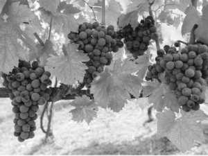 Viticulture à Boumerdès: Une production de 2,4 millions de quintaux prévue en 2016