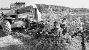 Ténès (Chlef) - Le vignoble massacré au profit du béton