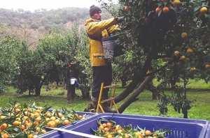 Besbes (El Tarf) - PRODUCTION EXCÉDENTAIRE EN CETTE SAISON AGRICOLE: Exportation des agrumes vers Dubaï