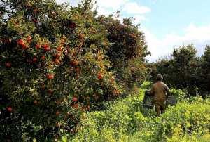 La récolte des Oranges à Boufarik, la capitale des Oranges.
