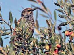 Oléiculture à Bordj Bou Arréridj: Des nuées de grives menacent les récoltes