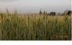 L'epi du Sersou, bientot les moisson du mois de Juillet.