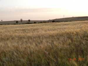 Le blé du Sersou