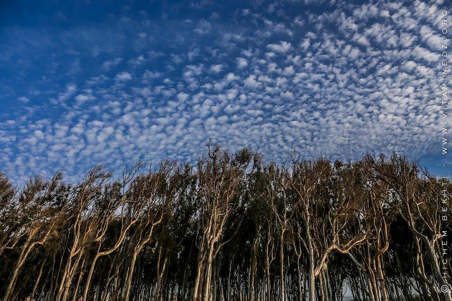 Foret de Corso Plage (Eucalyptus)