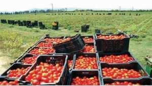 Tomate industrielle à Chlef: De grosses quantités abandonnées sur les champs