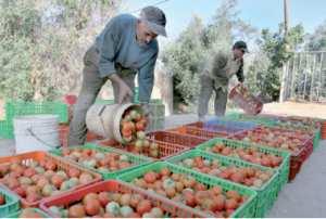 Chlef - Les producteurs de tomate industrielle réclament une enquête Perte d'une production agricole
