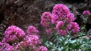 Fleurs de Centranthe rouge - Valériane rouge