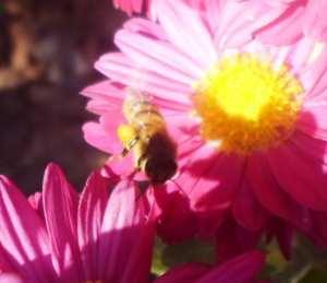 النحل الصحراوي