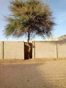 Bravo à ce geste d'eco-citoyenneté. Refuser de couper l'arbre pour construire la clôture de sa maison. Djanet - Algérie