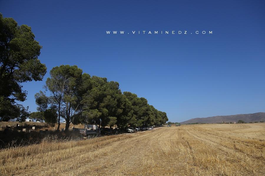 Champs de blé d'El Ghnayna (Amieur - Tlemcen)