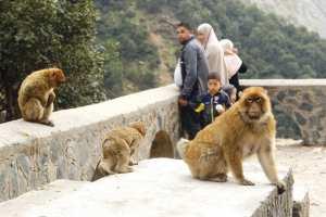 ARRÊT SUR IMAGE - Vu à la Chiffa (Blida): Le singe magot