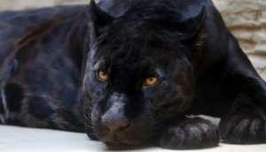 rare photographie d'un léopard noir