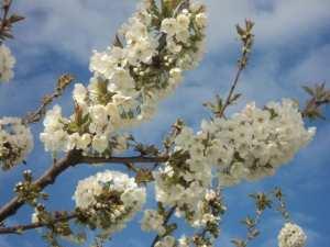 Cerisier en fleurs