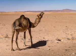 Le #Dromadaire, bien de chez nous... !