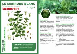 LE MARRUBE BLANC Marrubium vulgare MERRUYET مرويث