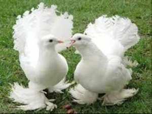 oiseaux amoreux