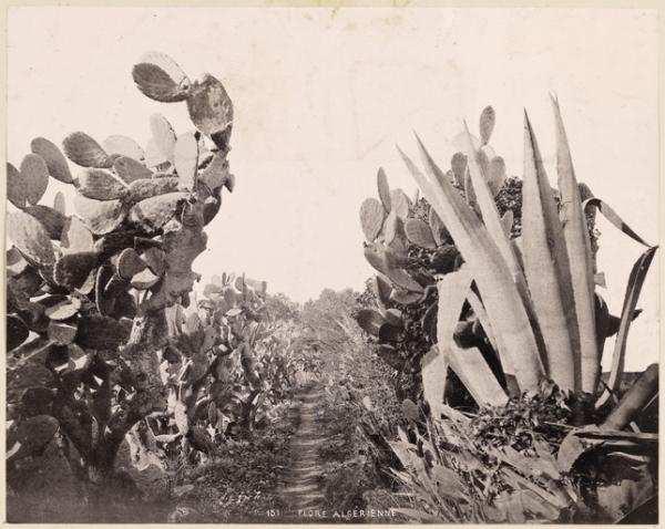 Flore algérienne (Photo rare)