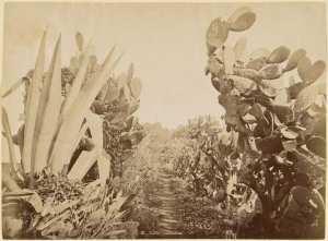Flore algérienne [figues de barbarie et aloès] (Photo rare)