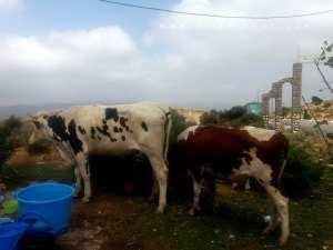 Des vaches laitières se promenant sur les hauteurs des Beni Add